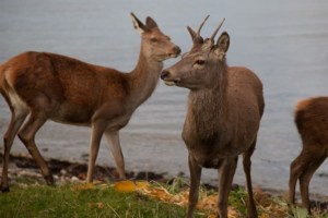 Deer on the Isle of Arran