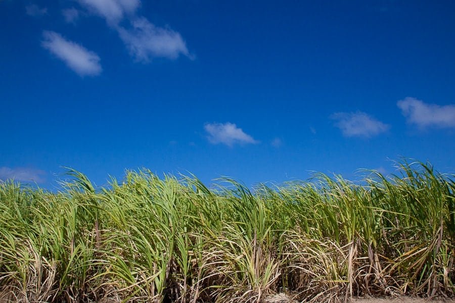 Sugar cane plantations photo
