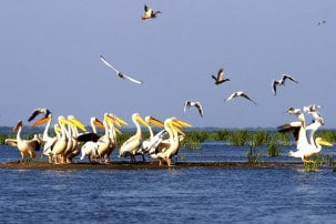 where to see pelicans